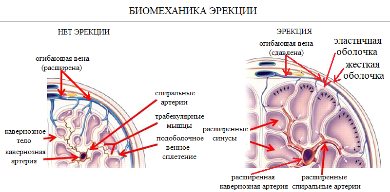 Как происходит эрекция у мужчин – механизм эрекции