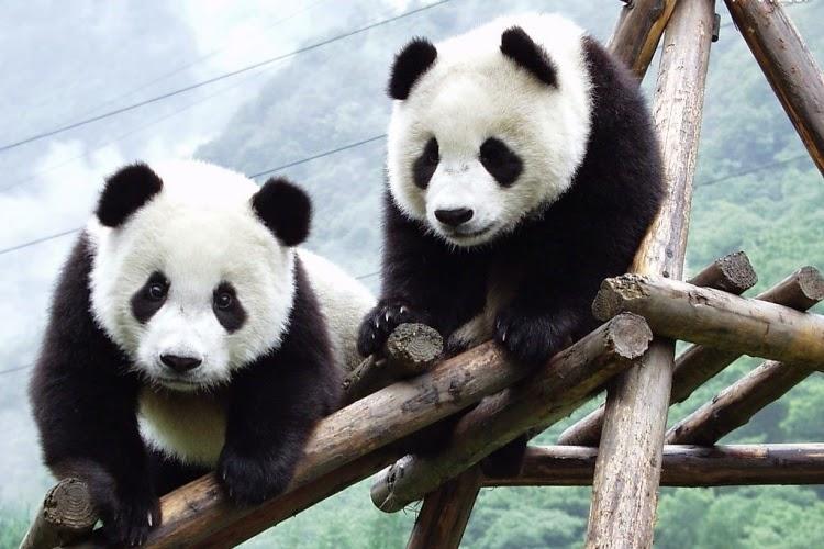Что такое панда
