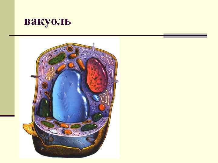 Вакуоль — особенности строения и функции вакуоля - сам себе доктор