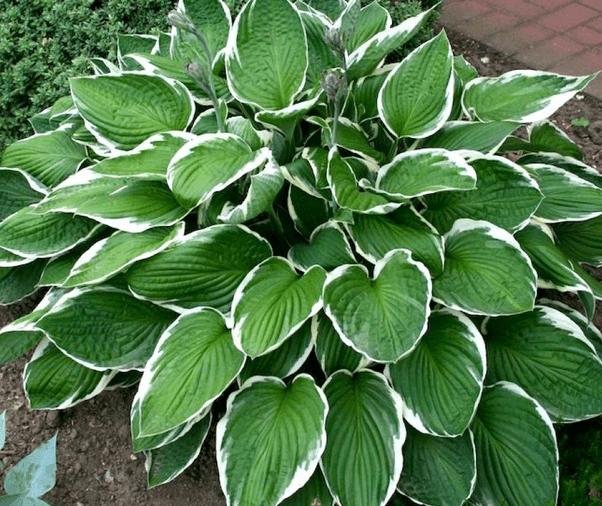 Хосты — разнообразие видов и использование в саду. фото — ботаничка.ru