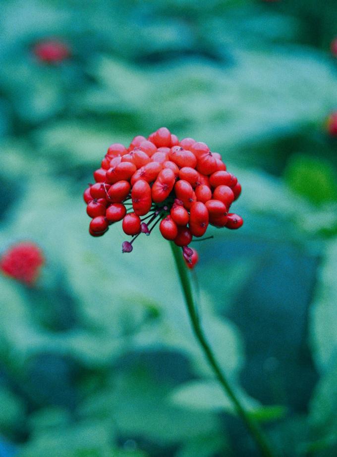 Женьшень: лечебные свойства и противопоказания