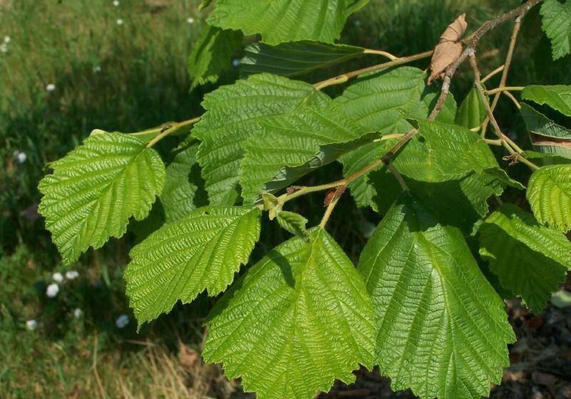 Ольха: фото дерева и листьев, описание, где растет