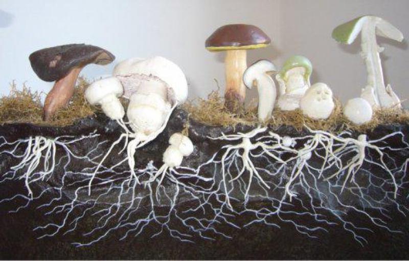 Как выращивать мицелий грибов дома и на даче