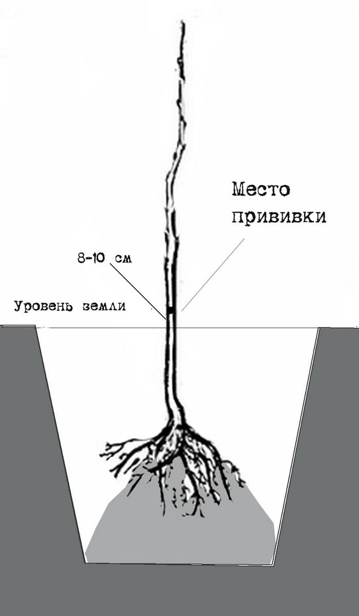 Корневая шейка саженца. чудо-урожай. большая энциклопедия сада и огорода