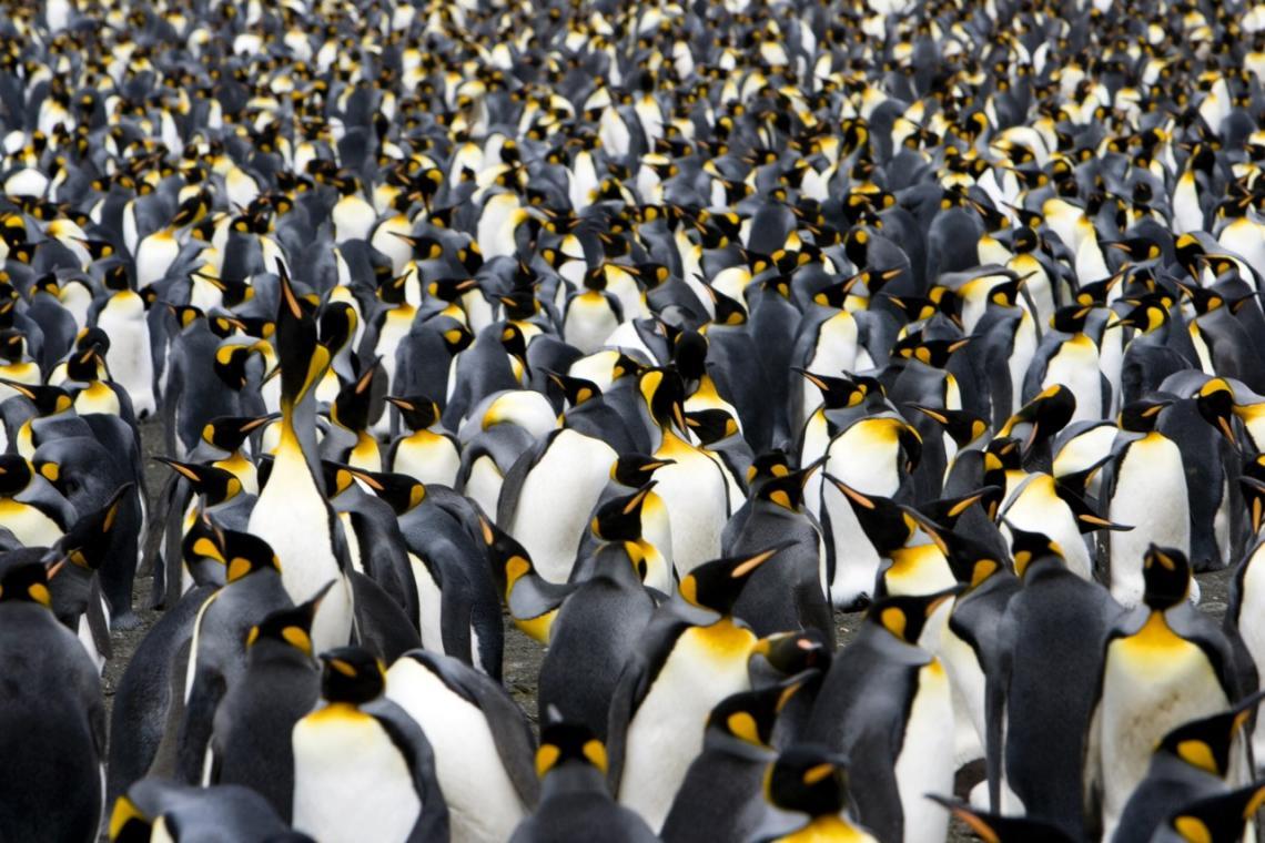 Очковый пингвин — википедия. что такое очковый пингвин
