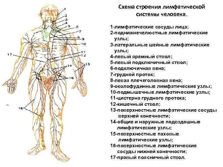 Что такое лимфа? какова ее роль в организме человека?