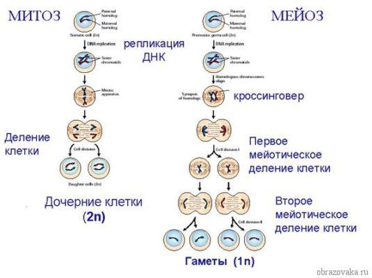 "Таблица ""фазы митоза"""