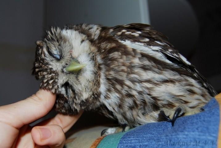 Сыч — виды и фото птицы