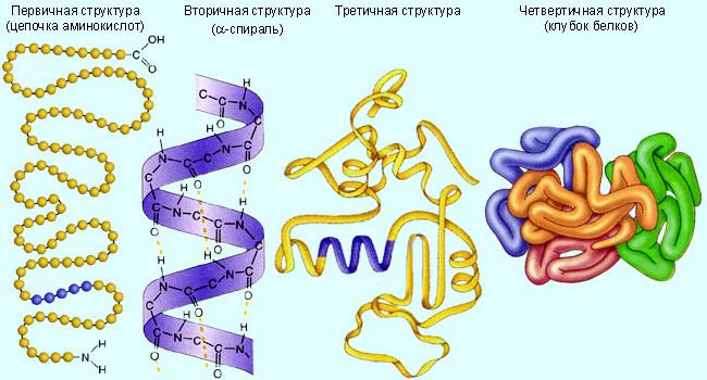 Пептиды: что это такое, для чего нужны, свойства, функции, применение - tony.ru
