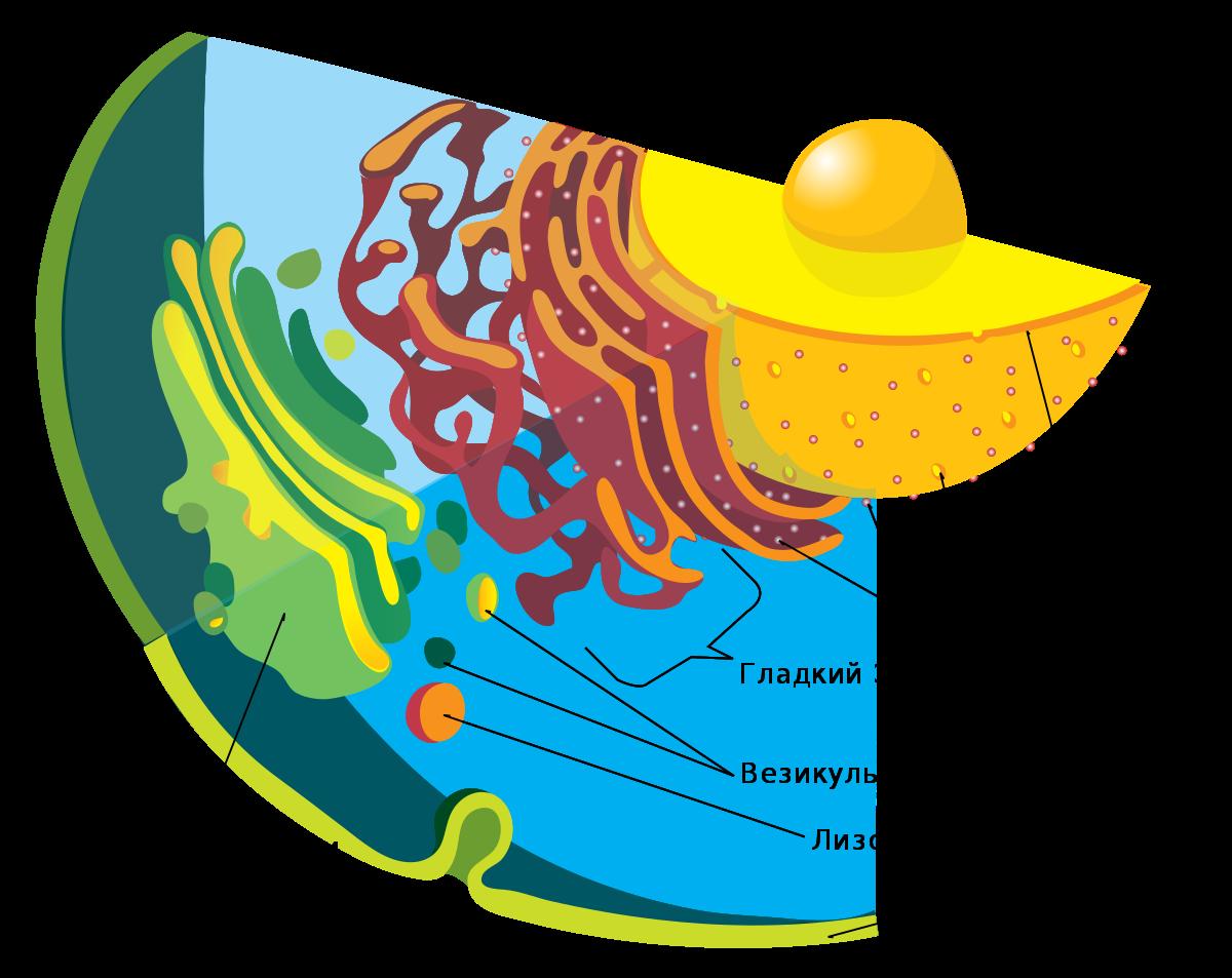 Бактерии, эукариоты, простейшие – почему они такие разные?