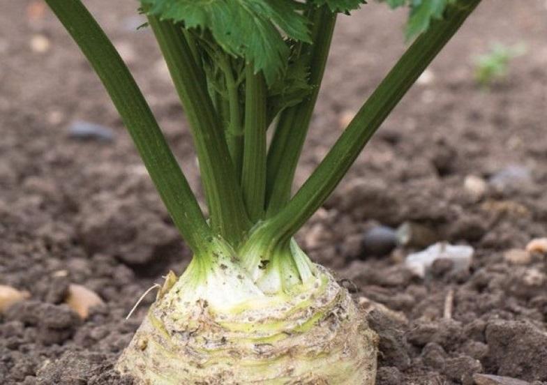 Сельдерей польза и вред растения для здоровья. калорийность и химический состав. применение в кулинарии, медицине и косметологии
