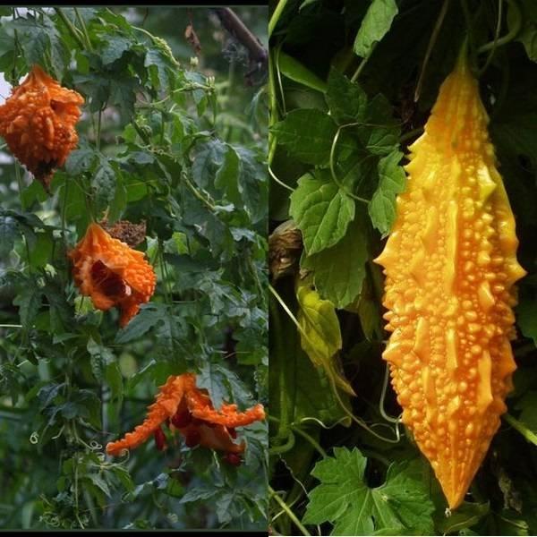 Польза момордики: состав фрукта, целебные свойства растения и сфера применения