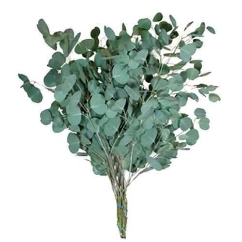 Дерево эвкалипт: фото, названия и описание видов, условия выращивания и размножение эвкалипта