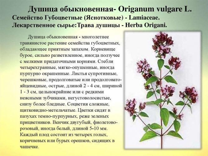 Орегано и душица – одно и то же растение?