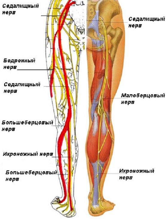 Нерв — циклопедия