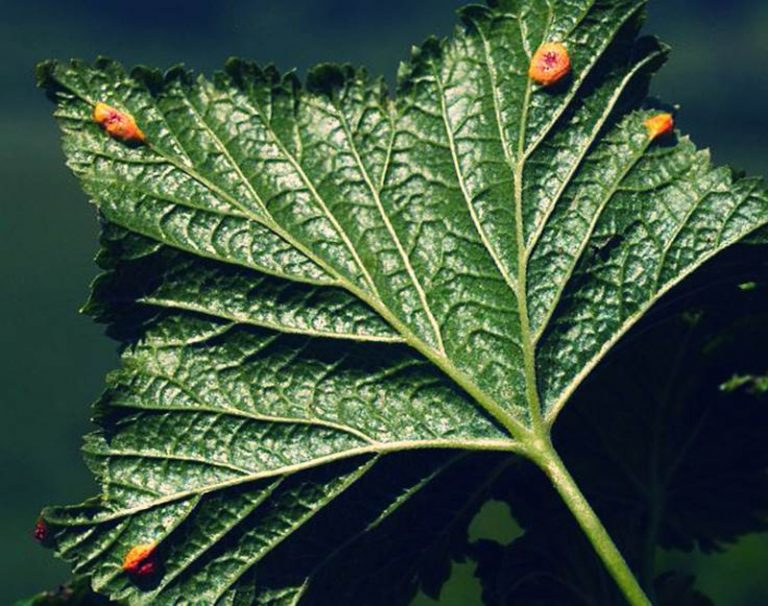 Желтые пятна на листьях смородины — как лечить?