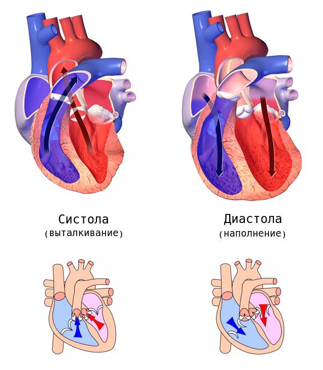 Общее расслабление сердца клапаны