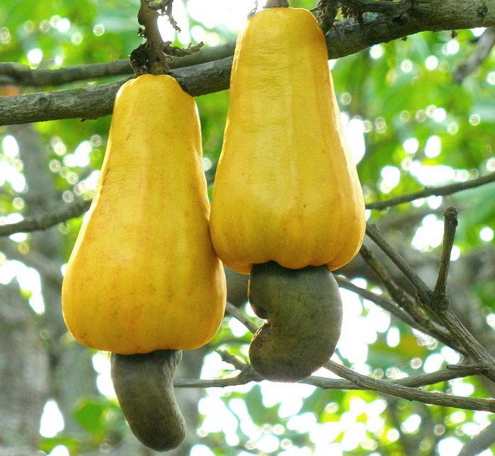Орех кешью (cashwe) - полезные свойства ореха