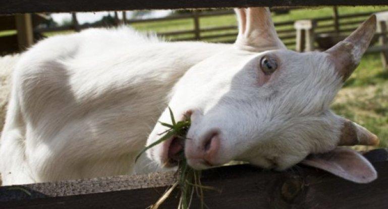 Домашняя коза — википедия
