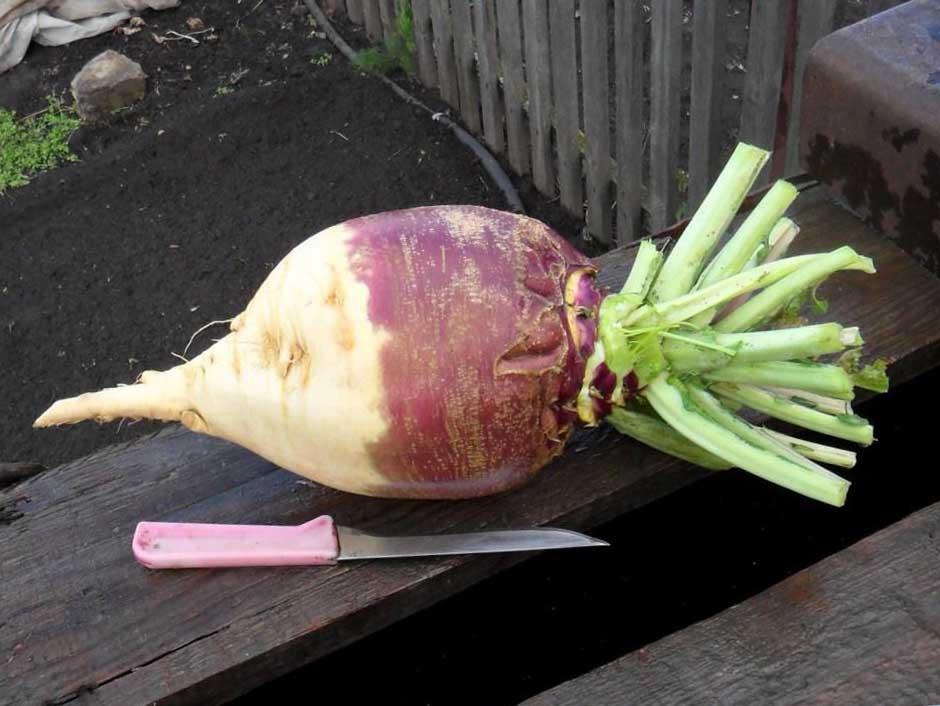 ✅ турнепс что это за овощ. турнепс – что это такое и можно ли употреблять в пищу? - cvetochki-ulyanovsk.ru