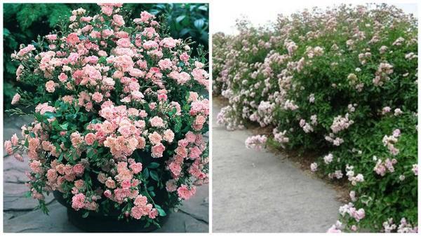 Полиантовая роза - характеристика растения, правила высадки и уход