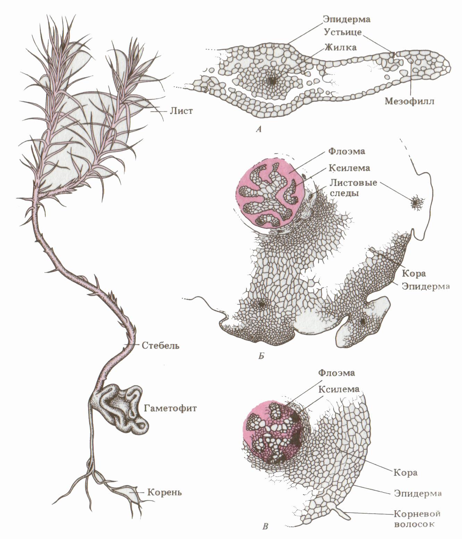 Отдел риниофиты (rhyniophyta) (а. л. тахтаджян) [1978 - - жизнь растений. том 4. мхи. планктоны. хвощи. папоротники. голосеменные растения]