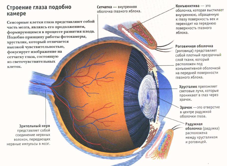 Анатомия радужки глаза человека - информация: