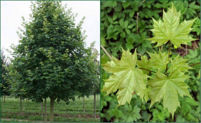 Клен: фото дерева, листьев, описание и характеристика | строительство. деревянные и др. материалы