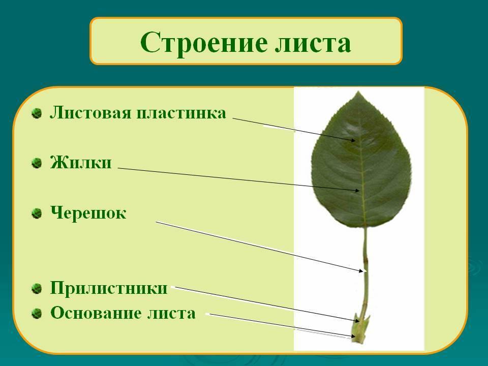 Черешок википедия