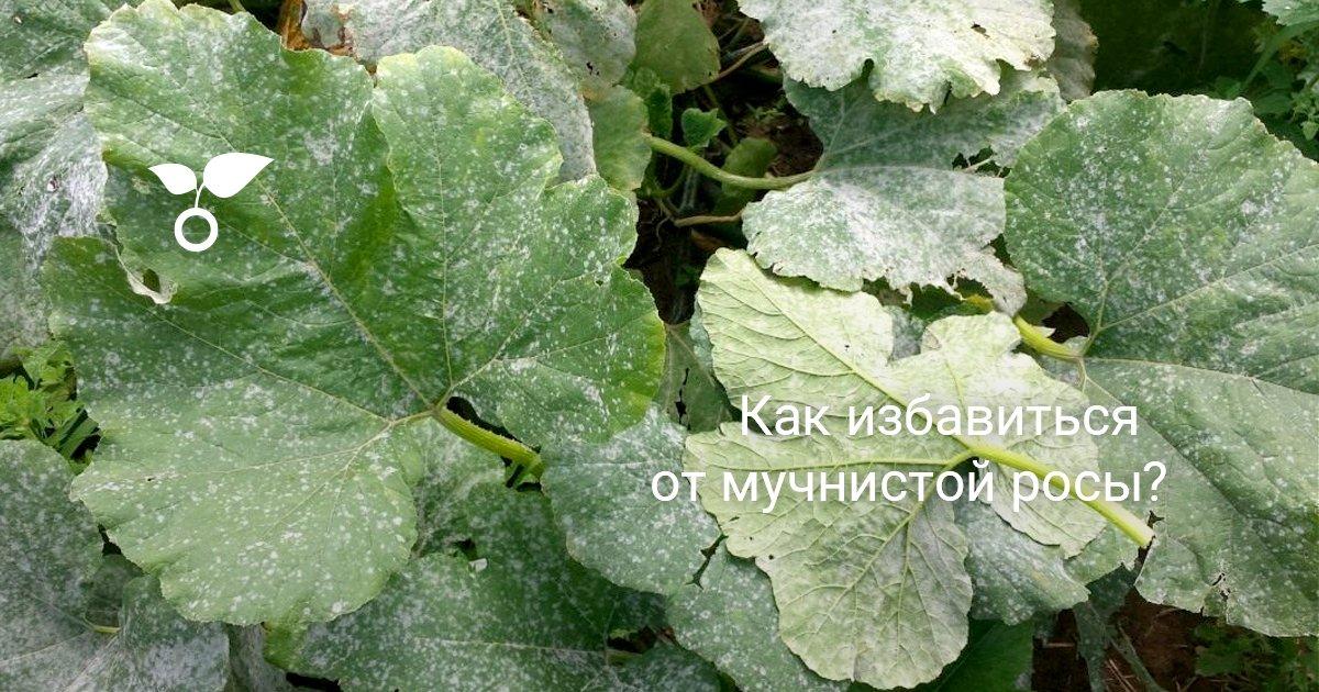 Пероноспороз, или ложная мучнистая роса, – фото, описание, способы лечения | дела огородные (огород.ru)