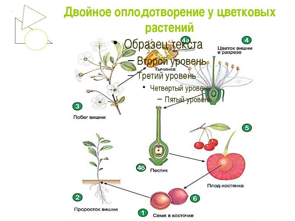Двойное оплодотворение у растений