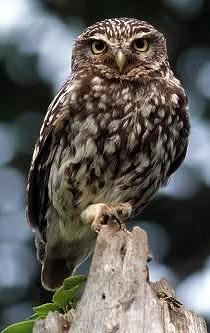 Сыч - это что за птица? чем питается сыч домовый?
