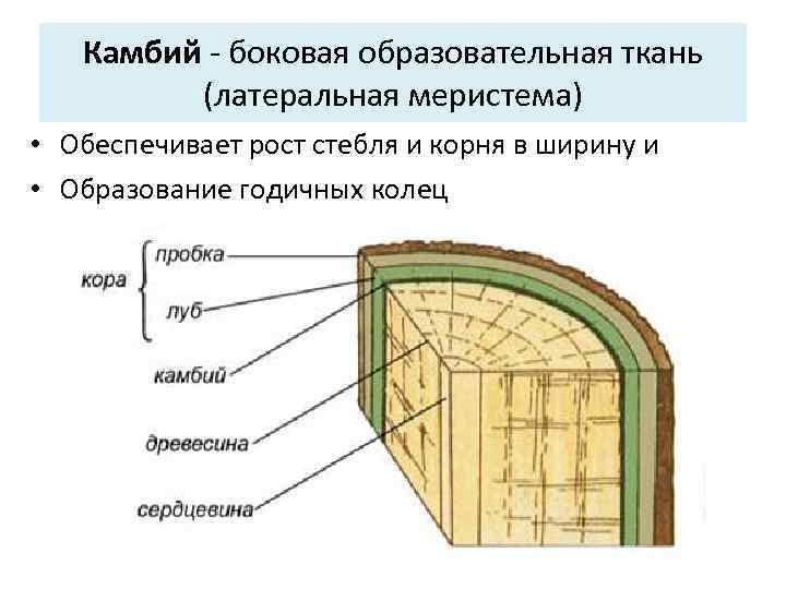 Камбий — разновидность образовательных тканей растений. характеристика и функции камбия