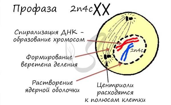 Деление клеток. митоз и мейоз, фазы деления