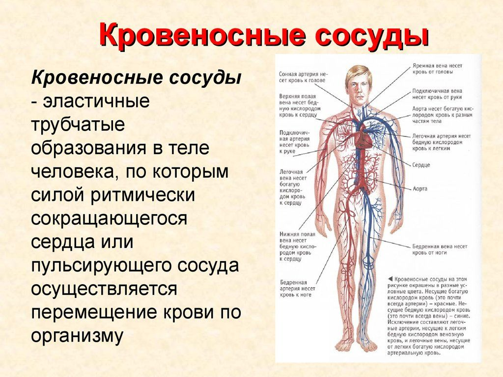 Базилярная артерия — википедия. что такое базилярная артерия