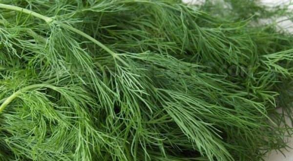 Что такое укроп и как он выглядит? характеристики растения и особенности культивации