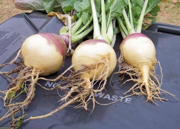 Брюква: её полезные свойства и противопоказания, выращивание