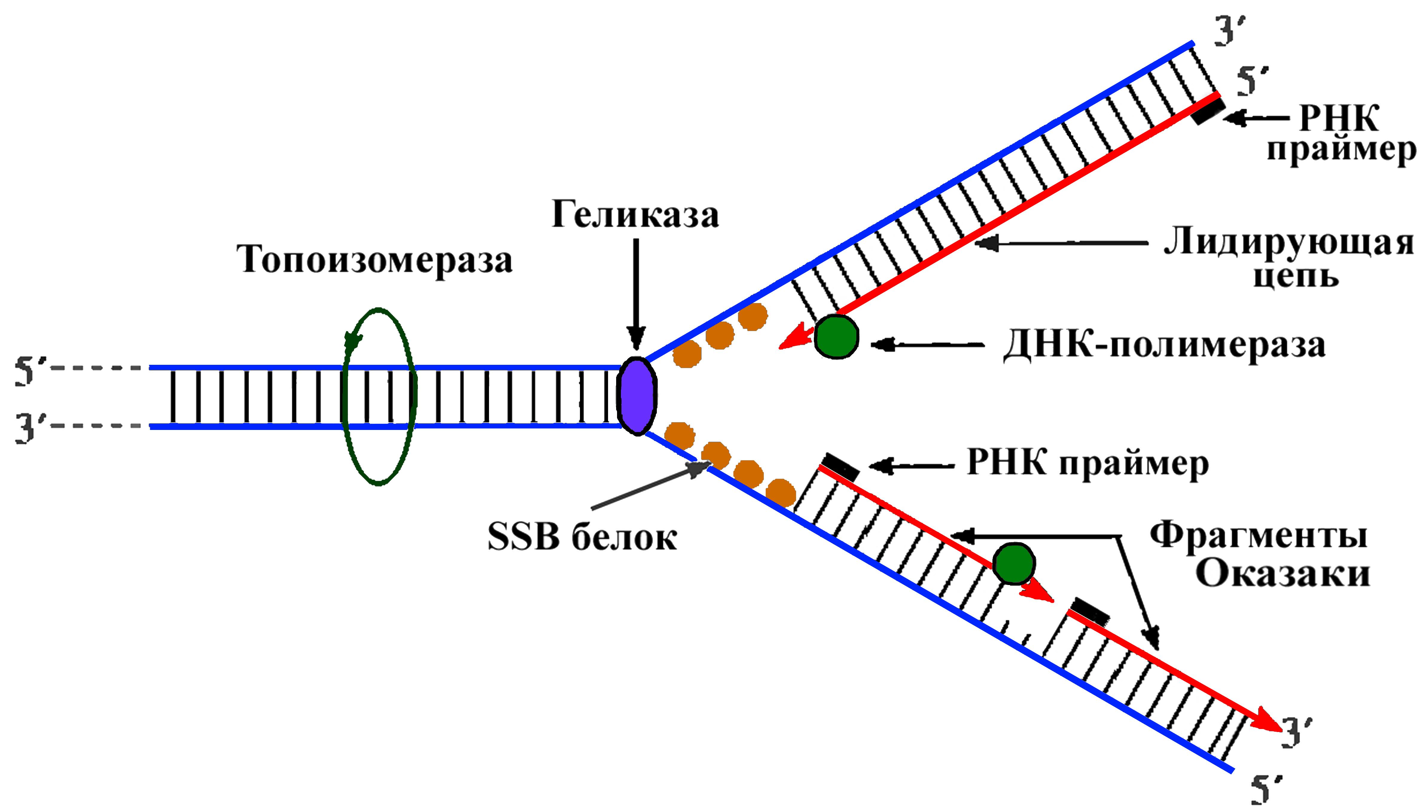Репликация в биологии - это важный молекулярный процесс клеток организма