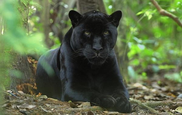 Чёрная пантера (marvel comics)
