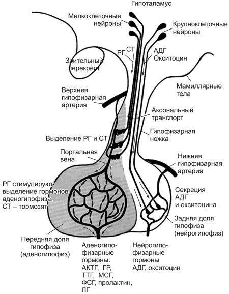 Окситоцин — sportwiki энциклопедия