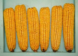 Что такое кукуруза фуражная - дневник садовода amparagroup.ru