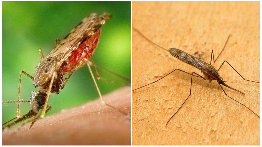 Малярия: причины, симптомы и лечение в статье инфекциониста александров п. а.