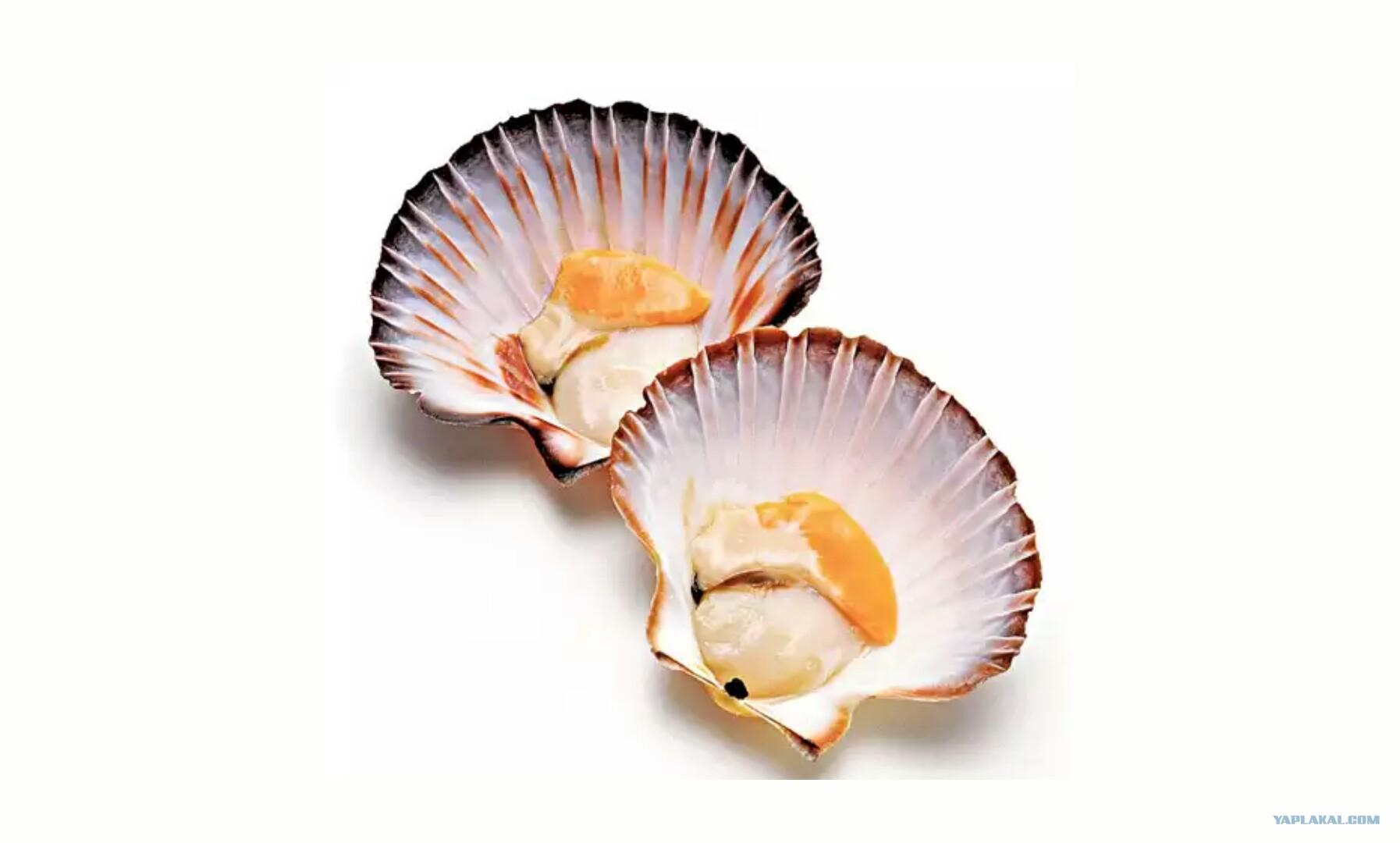 Морские гребешки: польза и вред для организма