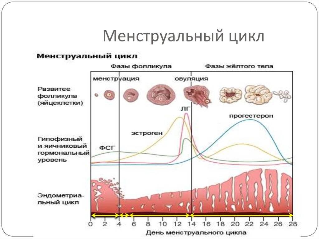 Лютеиновая фаза менструального цикла у женщин: что это такое, как правильно рассчитать продолжительность