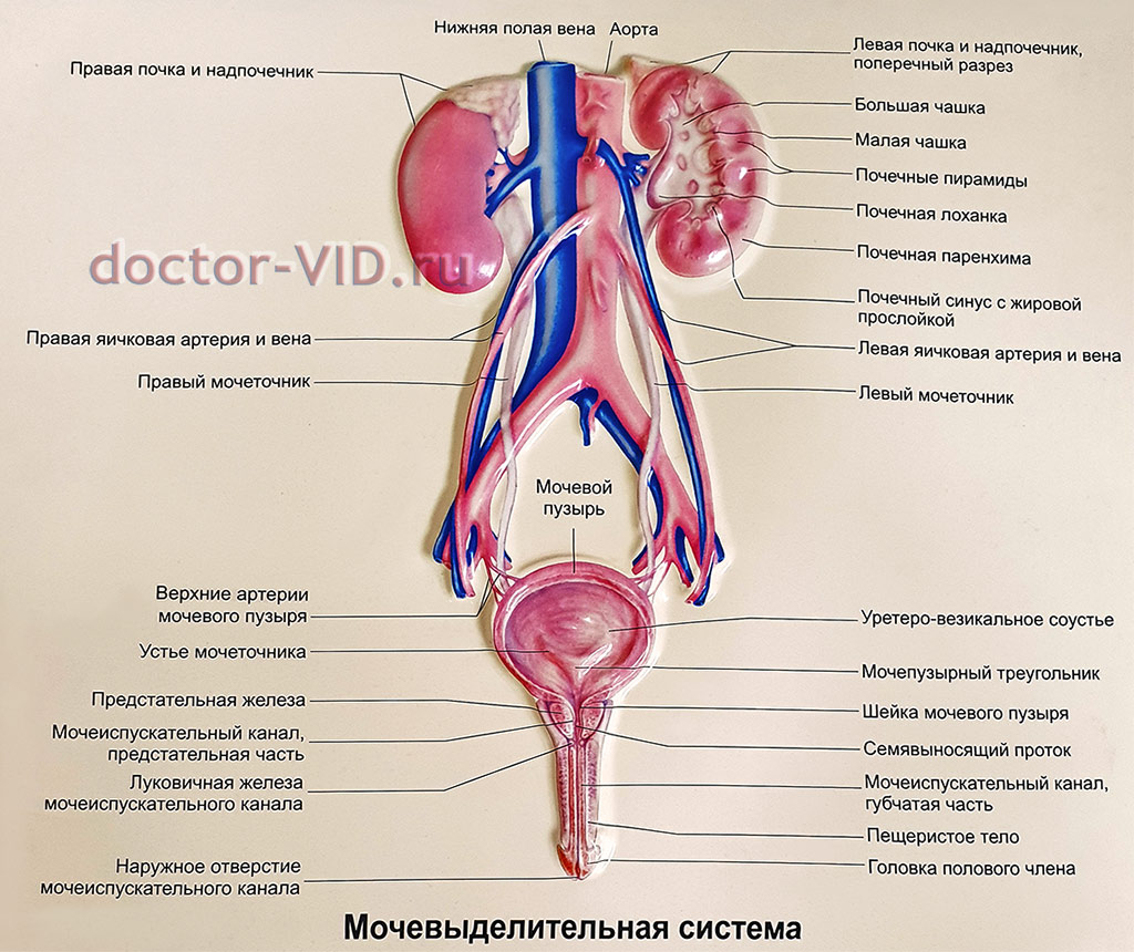 Уретра - urethra