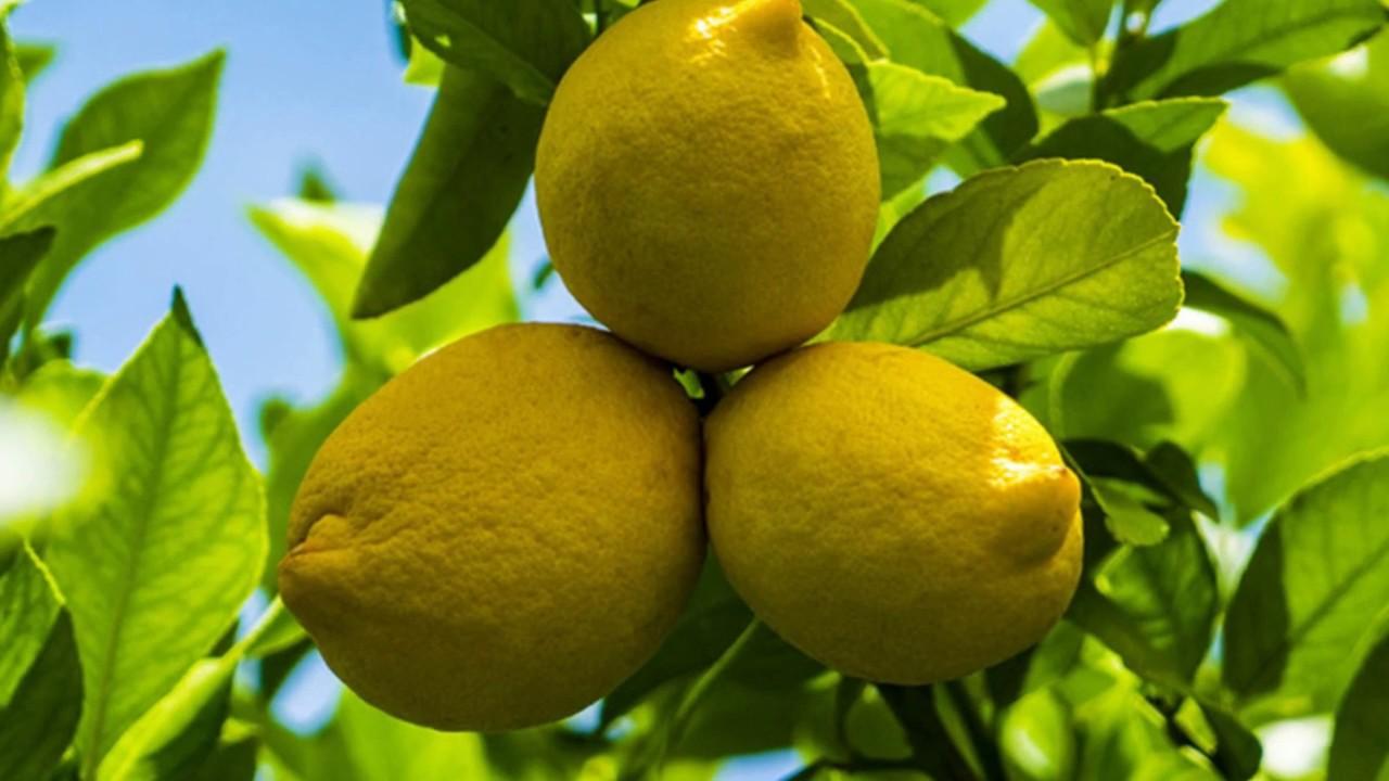 Цедра лимона: польза и вред, что это, как получить   zaslonovgrad.ru