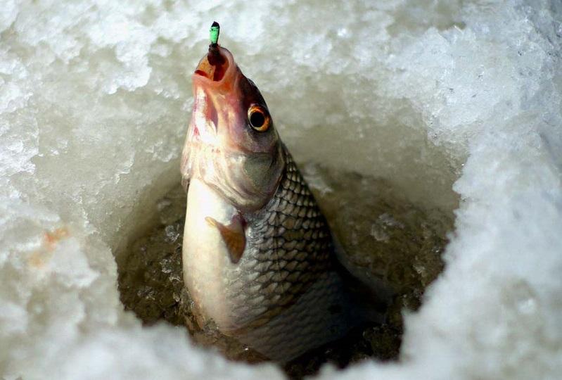 Плотва: характеристика, описание и значение рыбы