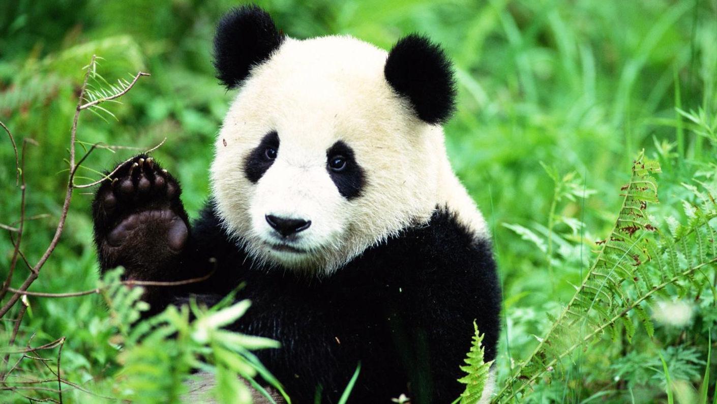 Большая панда: образ жизни, фото, природоохранный статус