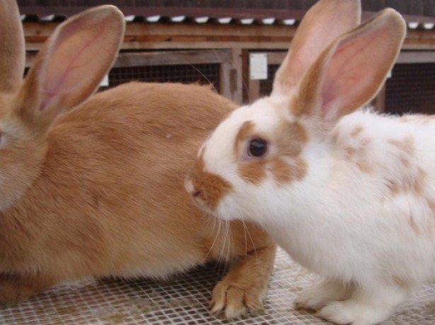 Кролики – породы и виды, фото с названиями и описанием, внешний вид, чем питаются, отличия от зайцев