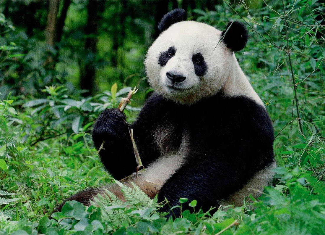 Большая панда – горный медведь тибета. описание и фото большой панды